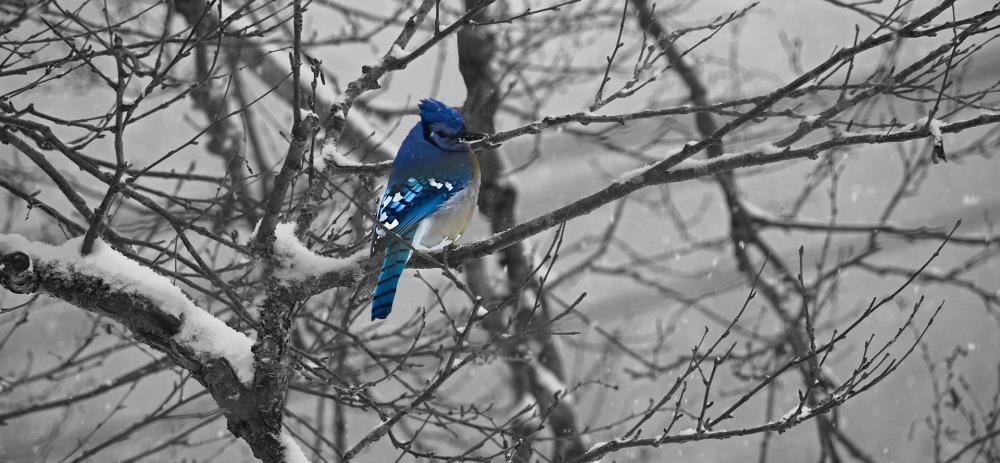 An actual Blue Jay.