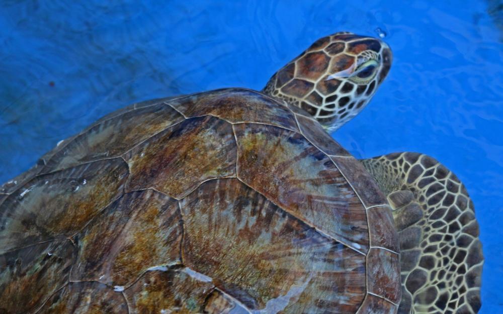 sea turtle, nature, florida, emerald coast