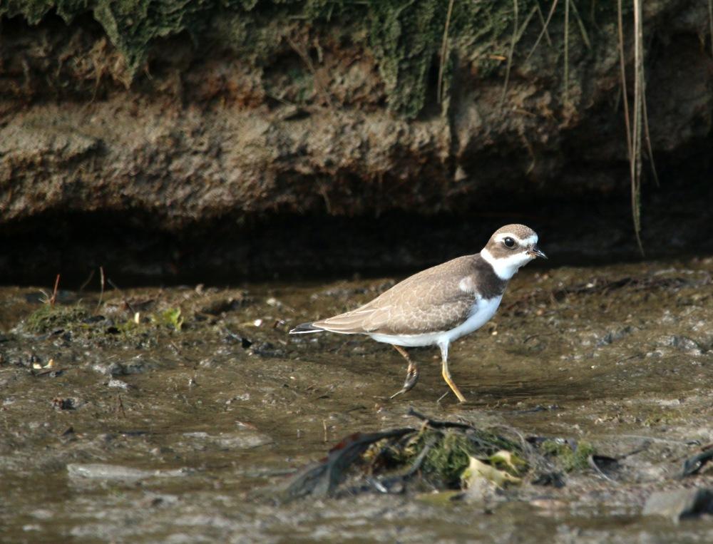 plover, nature, maine, shorebird