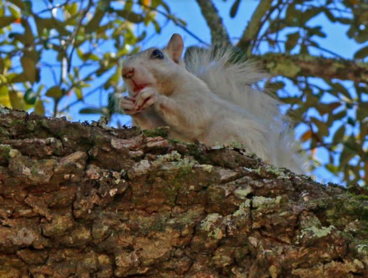 white squirrel, nature, florida